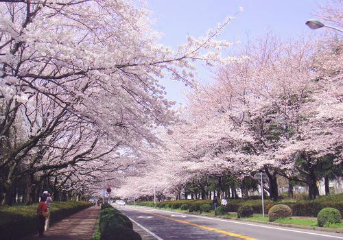 つくば市内の桜の名所 | 茨城県...